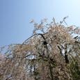 012_枝垂桜