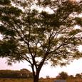 016_黄昏の樹