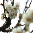 009_梅の花1