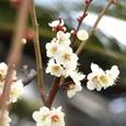 010_梅の花2
