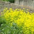 012_菜の花